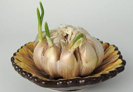 sproutinggarlic